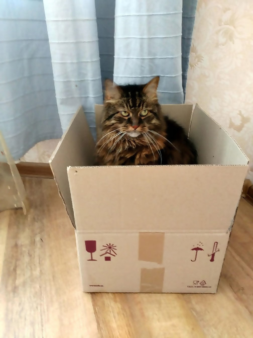 Norwegian Forest Cat in a box