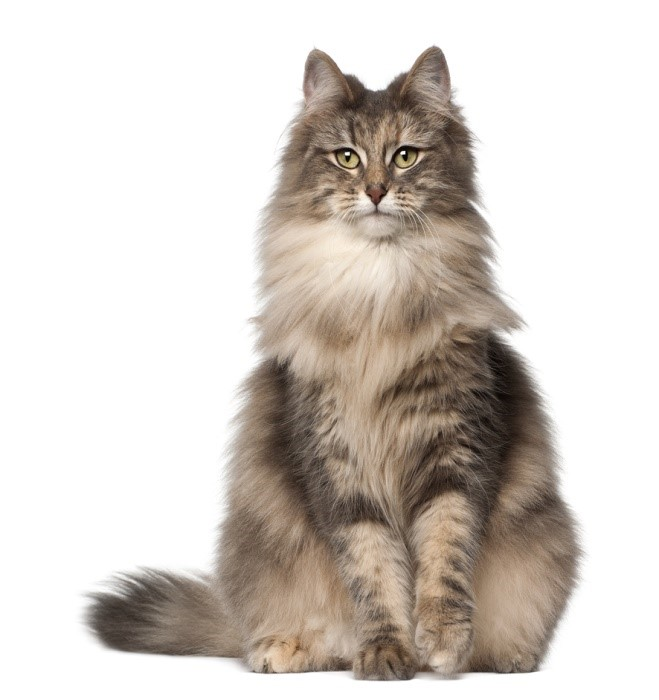 Norwegian Forest cat vertical