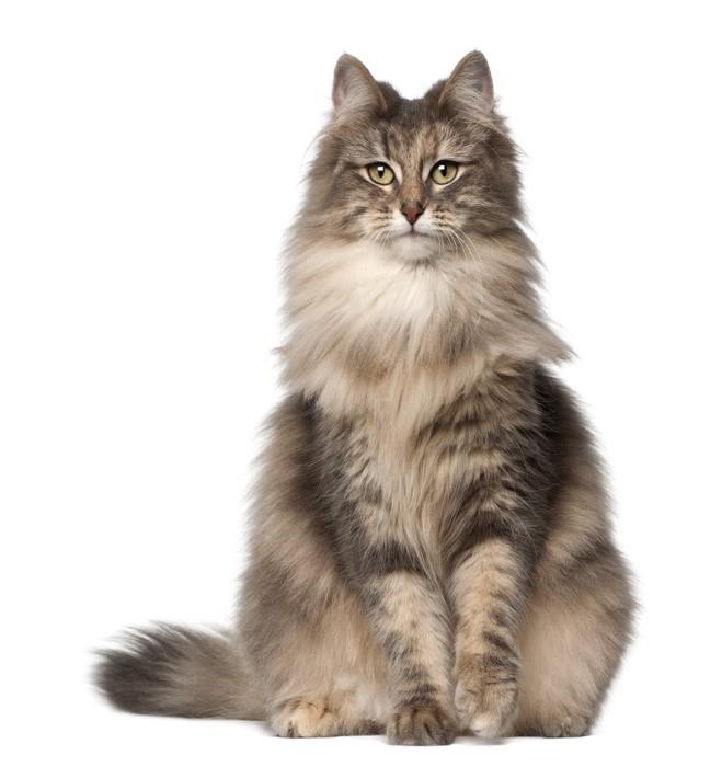 Norwegian Forest cat vertical