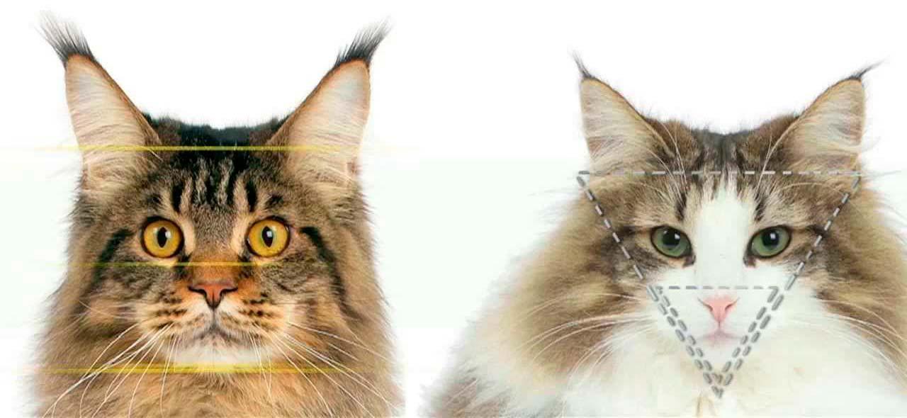 Norwegian Forest cat vs Maine Coon